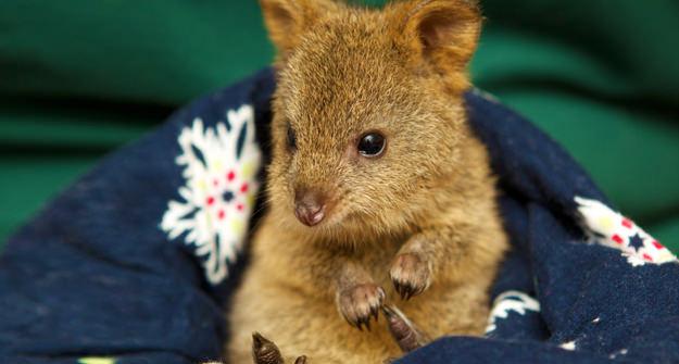 Quobba The Quokka Perth Zoo Wa Australia S Cutest