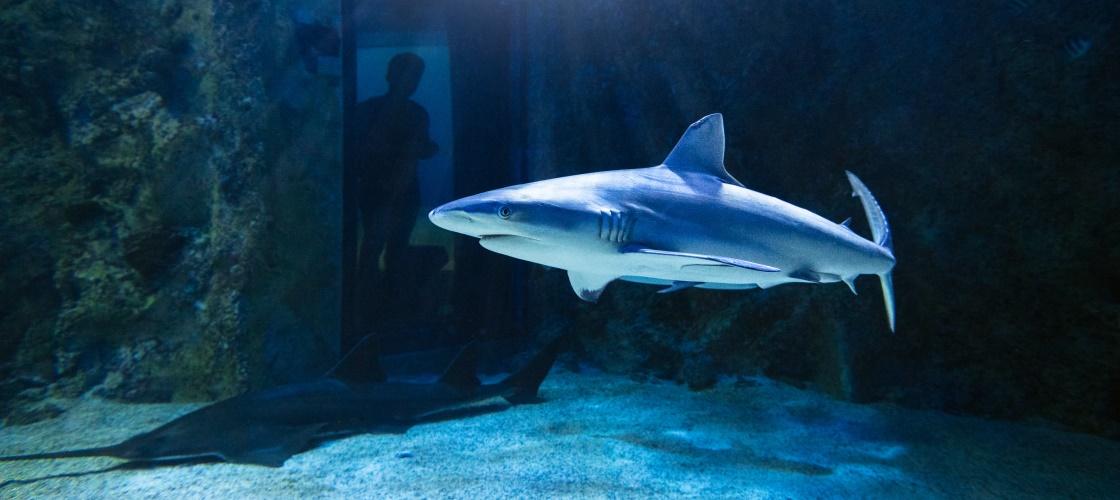 SeaLife Sydney shark