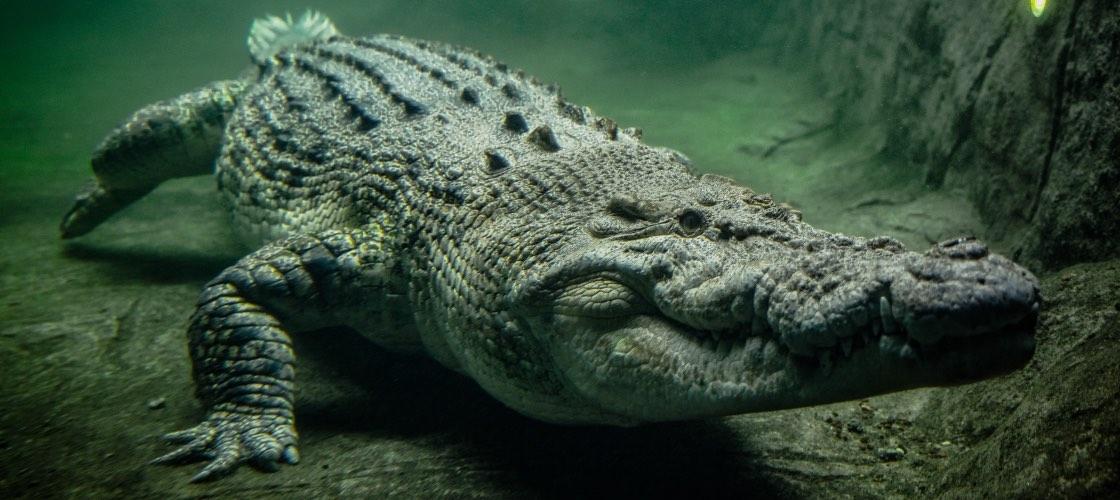 Wildlife Sydney Croc