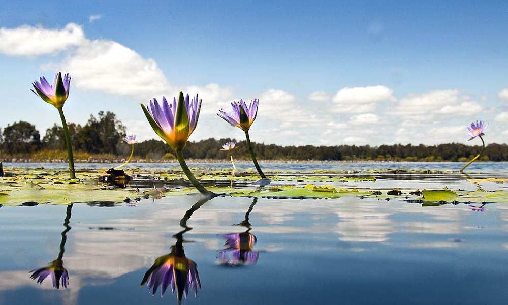 Lillies everglades noosa