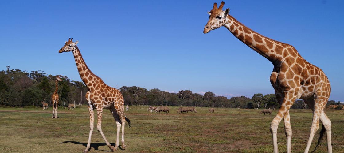 Werribee Open Range Zoo Review