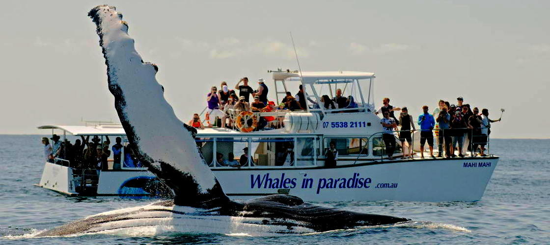 Whales In Paradise Gold Coast Whale Watching
