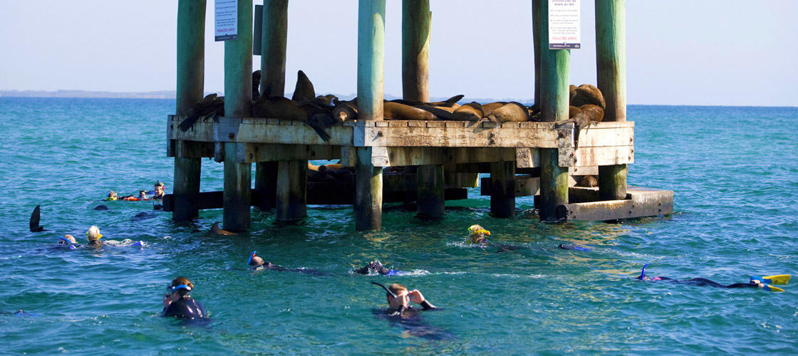 Queenscliff Dolphin and Seal Swim Tour