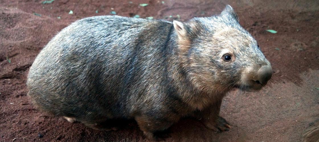WILD LIFE Sydney Zoo Koala Breakfast Wombats