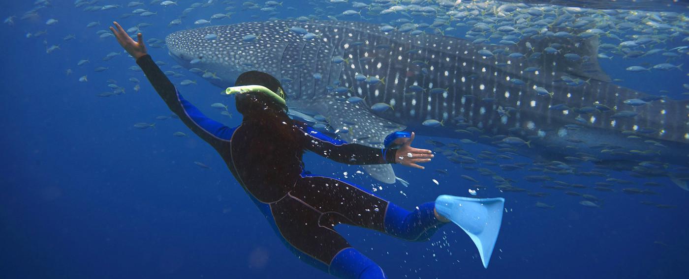 Exmouth Whale Sharks