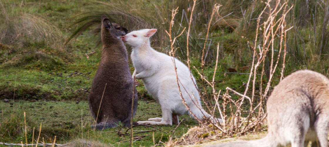 white wallaby bruny island