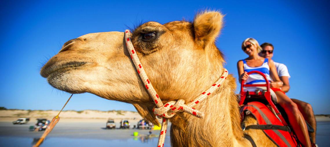 Get up close to camels