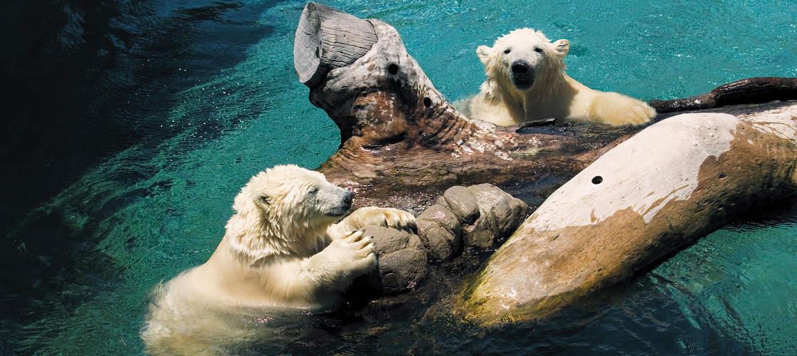 Behind The Scenes Polar Bears