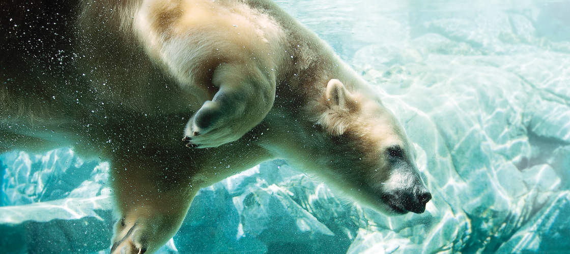 Sea World Polar Bears