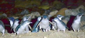 Little Blue Penguins Tour from Dunedin Thumbnail 1