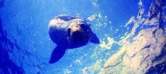 Seal Swim Kaikoura Thumbnail 5