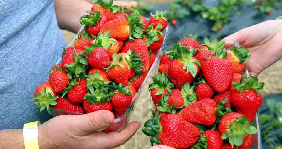 Free Things To Do  Beerenberg Strawberry Farm
