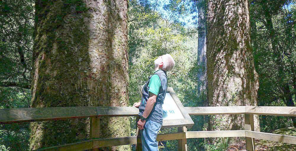 Free Things To Do  Rapurapu Kauri Track