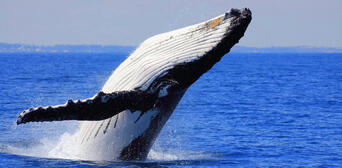 Brisbane Whale Watching Tour with Lunch and Brisbane Transfers Thumbnail 4