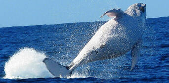 Brisbane Whale Watching Tour with Lunch and Brisbane Transfers Thumbnail 5