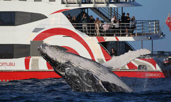 Sydney 3 Hour Whale Watching Discovery Cruise Thumbnail 2