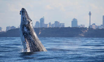 Sydney 3 Hour Whale Watching Discovery Cruise Thumbnail 1
