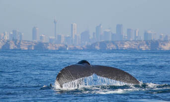 Sydney 3 Hour Whale Watching Discovery Cruise Thumbnail 6