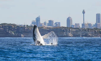 Sydney 2 Hour Whale Watching Express Cruise Thumbnail 1