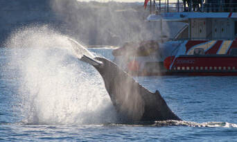 Sydney 2 Hour Whale Watching Express Cruise Thumbnail 6