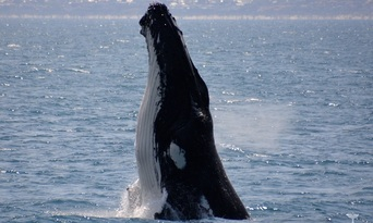 Augusta Whale Watching Experience Thumbnail 1