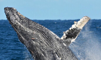 Augusta VIP Captains Lounge Whale Watching Experience Thumbnail 1