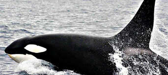 Bremer Canyon Full Day Orca Experience Thumbnail 1