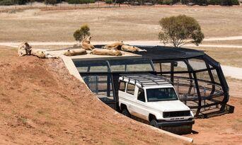 Monarto Safari Park Lion Encounter and Entry Thumbnail 3