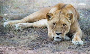 Monarto Safari Park Lion Encounter and Entry Thumbnail 6
