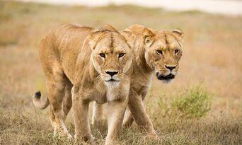 Monarto Safari Park Lion Encounter and Entry Thumbnail 5