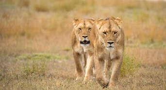 Monarto Safari Park Lion Encounter and Entry Thumbnail 1