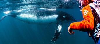 Humpback Whale Swim & Catamaran Cruise Thumbnail 1