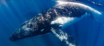 Humpback Whale Swim & Catamaran Cruise Thumbnail 4