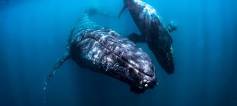 Humpback Whale Swim & Catamaran Cruise Thumbnail 5