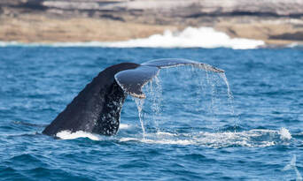 Sydney Weekend Whale Watching Cruise including Breakfast Thumbnail 6