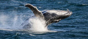 Whale Watching Cruise from Surfers Paradise Thumbnail 4