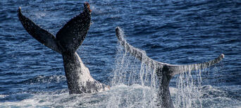 Whale Watching Cruise from Surfers Paradise Thumbnail 6