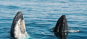 Whale Watching Cruise from Surfers Paradise Thumbnail 1
