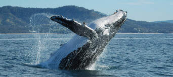 Coffs Harbour Whale Watching Tour - 2 Hours Thumbnail 1