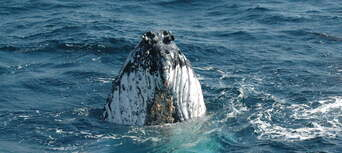 Coffs Harbour Whale Watching Tour - 2 Hours Thumbnail 3