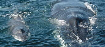 Coffs Harbour Whale Watching Tour - 2 Hours Thumbnail 4