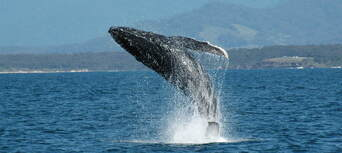 Coffs Harbour Whale Watching Tour - 2 Hours Thumbnail 6