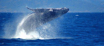 Whale Watch Cruises from Cairns Thumbnail 3