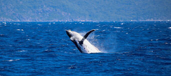 Whale Watch Cruises from Cairns Thumbnail 5