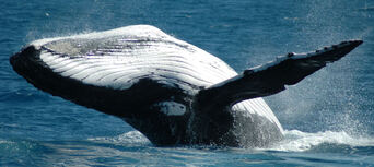 Whale Watch Cruises from Cairns Thumbnail 1
