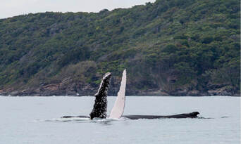 Whale Watching Adventure Cruise from Noosa Thumbnail 4