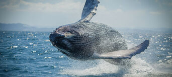 Whale Watching Adventure Cruise from Noosa Thumbnail 1