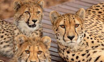 Cheetah Experience at Monarto Safari Park Thumbnail 2