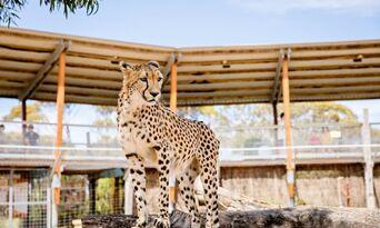 Cheetah Experience at Monarto Safari Park Thumbnail 3