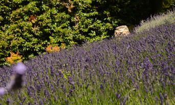 Ashcombe Maze And Lavender Gardens Thumbnail 2